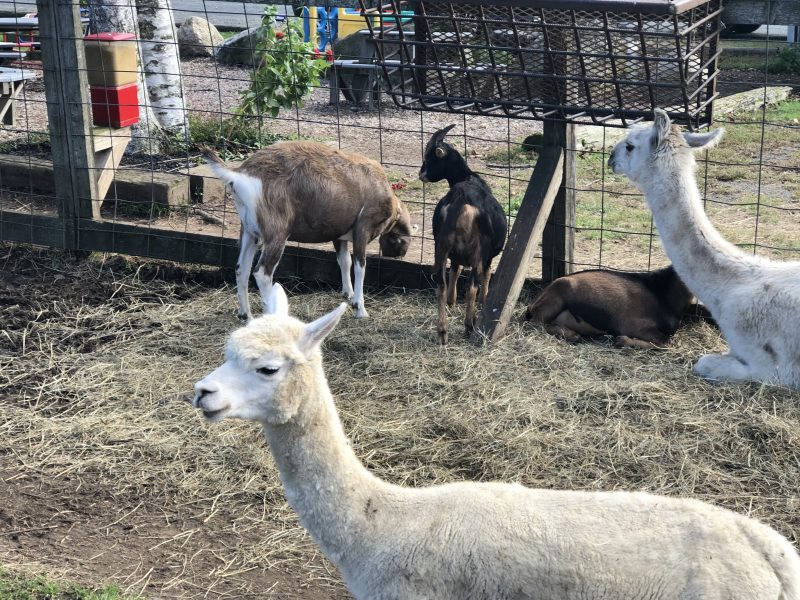 At Gran-Val Scoop in Granville, enjoy homemade ice cream and stop by to pet the Llamas, cows, pigs and other animals.